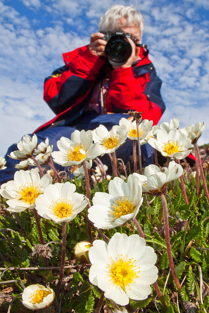 Guest from the Lindblad Expedition ship National Geographic Explorer photographing mountain avens (Dryas octopetala) on open tundra in Svalbard, Norway
