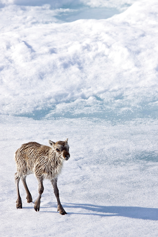 A stranded Svalbard reindeer fawn (Rangifer tarandus platyrhynchus) on first-year ice floe at Monaco Glacier in Wood Fjord on Spitsbergen Island in the Svalbard Archipelago, Norway. MORE INFO The Svalbard reindeer is a small subspecies of Rangifer tarandus. Males are significantly larger than females and have larger antlers. Males weigh approximately 65 kg in spring and 90 kg in autumn, whereas females weigh approximately 53 kg in spring and 70 kg in autumn. The length of males is 160 cm and females are about 150 cm long. Svalbard reindeer are short-legged and have relatively short, round heads.