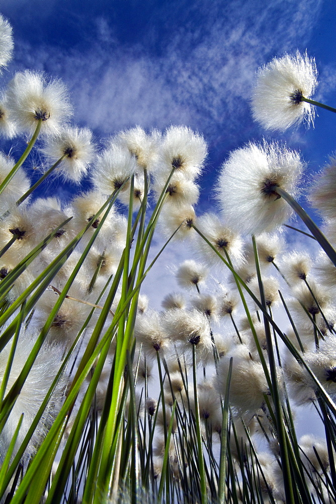 A large stand of Arctic cotton (Eriophorum callitrix) in Denali National Park, Alsaka, USA. MORE INFO Arctic cotton (cottongrass, cottonsedge) is an Arctic plant in the Cyperaceae family. This plant is food for migrating snow geese and caribou.