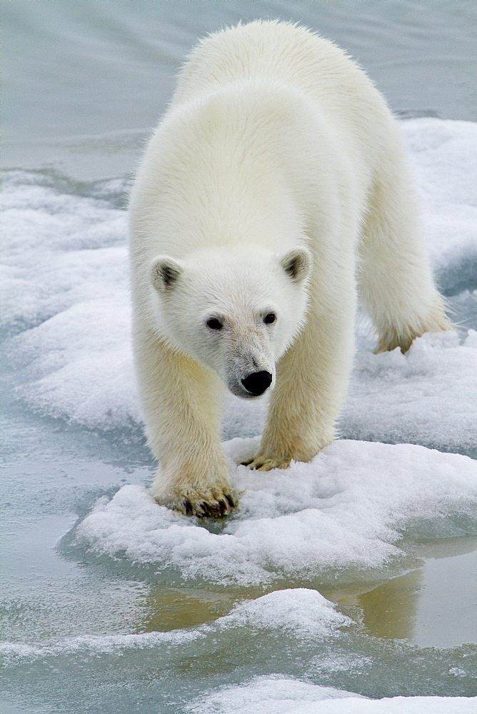 """A curious young polar bear (Ursus maritimus) approaches the National Geographic Explorer in Woodfjorden on the northern coast of Spitsbergen in the Svalbard Archipelago, Norway. MORE INFO The IUCN now lists global warming as the most significant threat to the polar bear, primarily because the melting of its sea ice habitat reduces its ability to find sufficient food. The IUCN states, """"If climatic trends continue polar bears may become extirpated from most of their range within 100 years."""""""