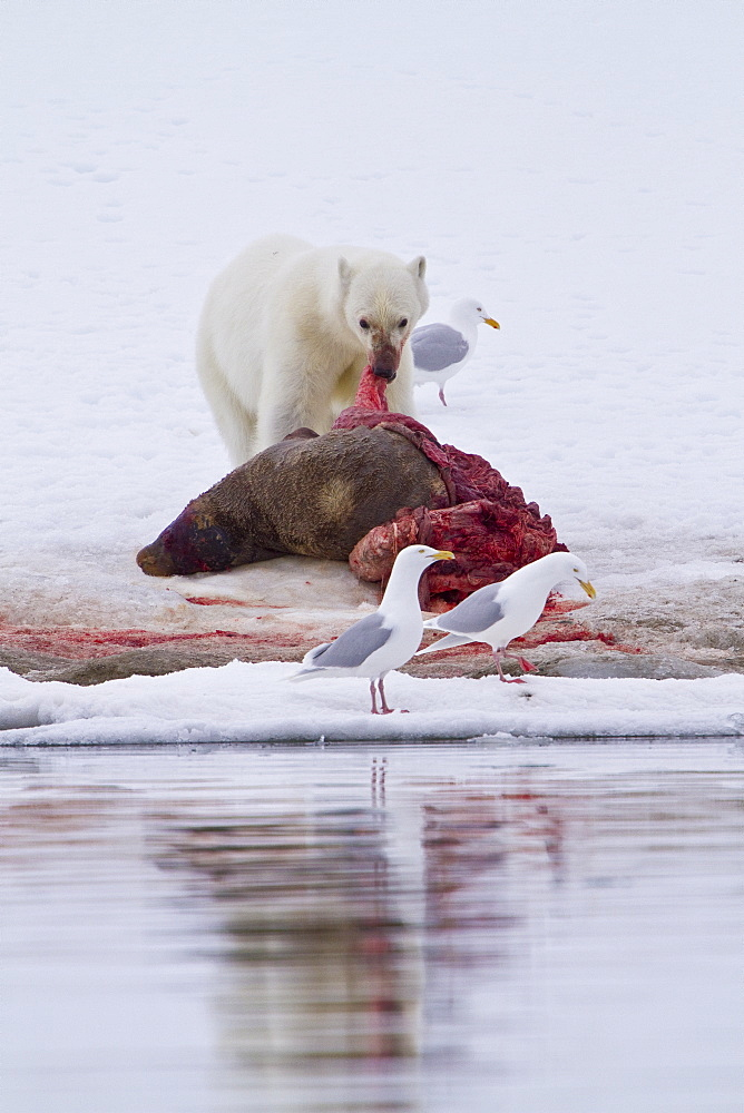 "A younger polar bear (Ursus maritimus) scavenging  a fresh bearded seal kill recently vacated by the old male that killed the seal near Monacobreen Glacier, Spitsbergen in the Svalbard Archipelago, Norway. MORE INFO The IUCN now lists global warming as the most significant threat to the polar bear, primarily because the melting of its sea ice habitat reduces its ability to find sufficient food. The IUCN states, ""If climatic trends continue polar bears may become extirpated from most of their range within 100 years.""   - 979-8595"