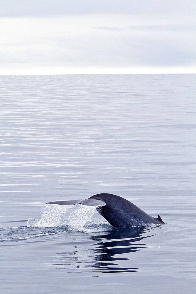 A rare sighting of an adult blue Whale (Balaenoptera musculus) sub-surface feeding off the edge of the continental shelf on the northwestern side of Spitsbergen Island in the Svalbard Archipelago,  Norway. MORE INFO At up to 32.9 metres (108 feet) in length and 172 metric tonnes (190 tons) or more in weight, it is the largest animal ever known to have existed. Since protection efforts the blue whale is starting to make a recovery in the north Atlantic.