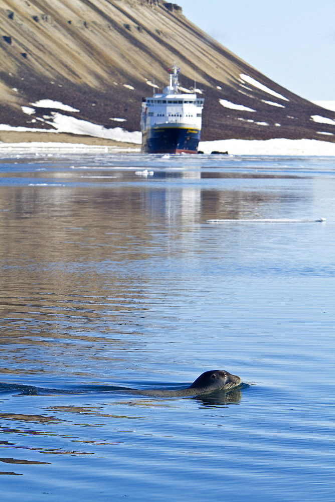 Adult bearded seal (Erignathus barbatus) swimming amongst the ice in the Svalbard Archipelago, Norway. MORE INFO Bearded seals are the primary food source for the polar bear (Ursus maritimus). It feeds primarily on clams, squid, and fish along the bottom.