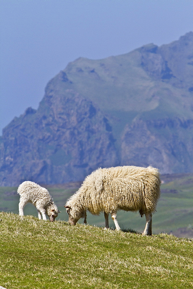 Sheep grazing on remote Heimaey Island, Iceland. MORE INFO Heimaey is the largest island (5.2 sq. miles) in the Vestmannaeyjar cluster, approximately 4 nautical miles off the south coast of Iceland. It is the only island in Vestmannaeyjar that is populated, and there are around 4,500 inhabitants. On 23 January 1973 a volcanic eruption of the mountain Eldfell began on Heimaey. Heimaey was about 11.2 km= before the eruption, but the island grew by about 2.24 km= with the new lava from the eruption.