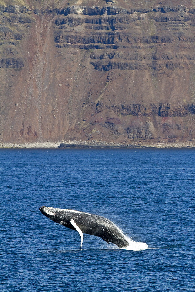 Adult humpback whale (Megaptera novaeangliae) breaching  in the fjord of Isfjardardjup, Iceland - 979-8999
