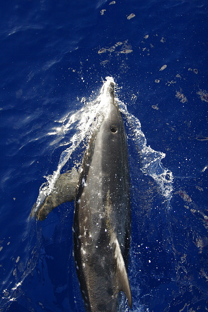 Adult rough-toothed dolphin (Steno bredanensis) bow riding the National Geographic Endeavour near Ascension Island. South Atlantic Ocean.