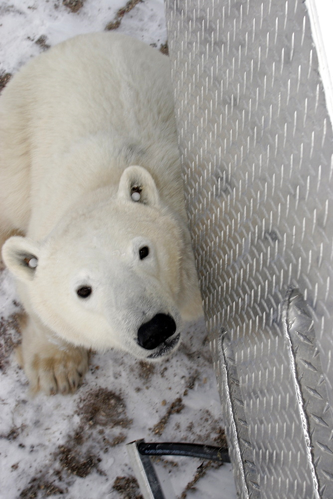 Curious Polar Bear (Ursus maritimus) inspects the photographer near Churchill, Manitoba, Canada.