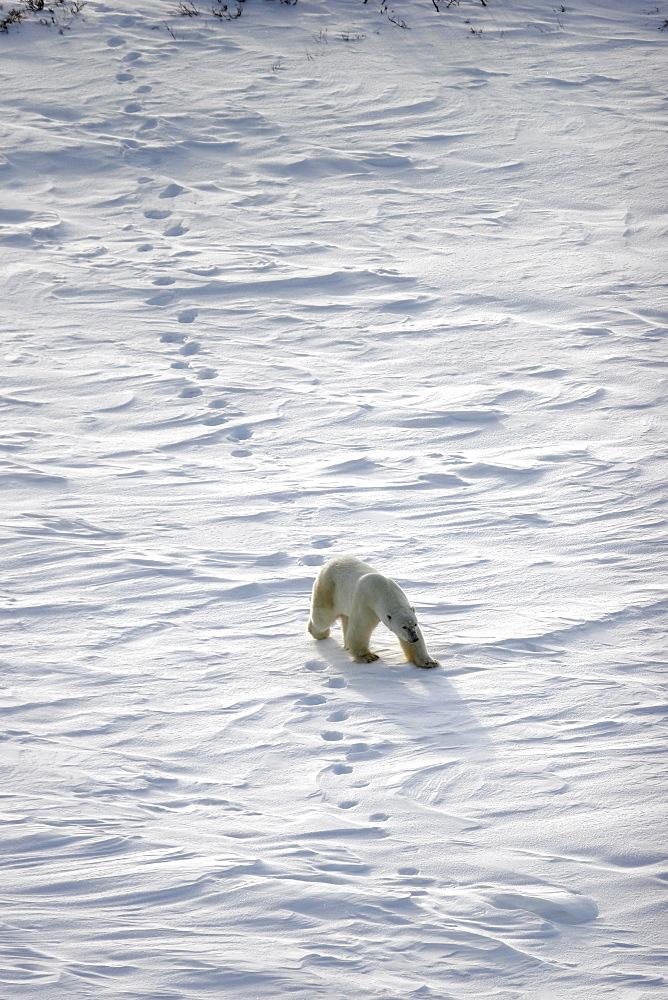 Adult Polar Bear (Ursus maritimus) following in tracks on open tundra outside Churchill, Manitoba, Canada.