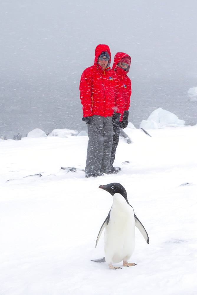 Ad?lie penguin (Pygoscelis adeliae) with Lindblad guests in snowstorm at Brown Bluff on the Antarctic Peninsula in the Weddell Sea , Antarctica.