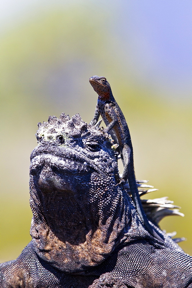The endemic Galapagos marine iguana (Amblyrhynchus cristatus) with a lava lizard on top of its head in the Galapagos Island Archipelago, Ecuador