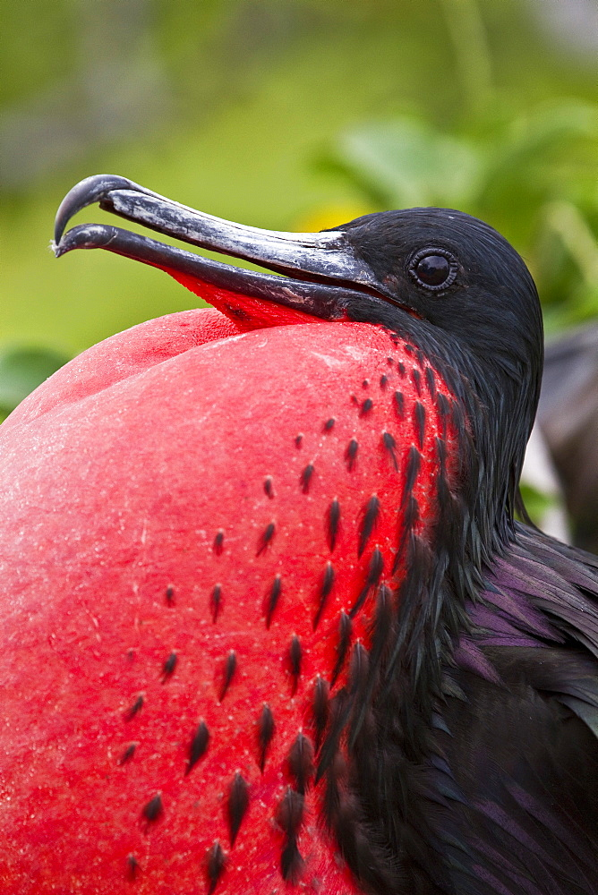 Male Great frigatebird (Fregata minor) in breeding plumage (note the red gular pouch) on North Seymour Island in the Galapagos Island Archipelago, Ecuador