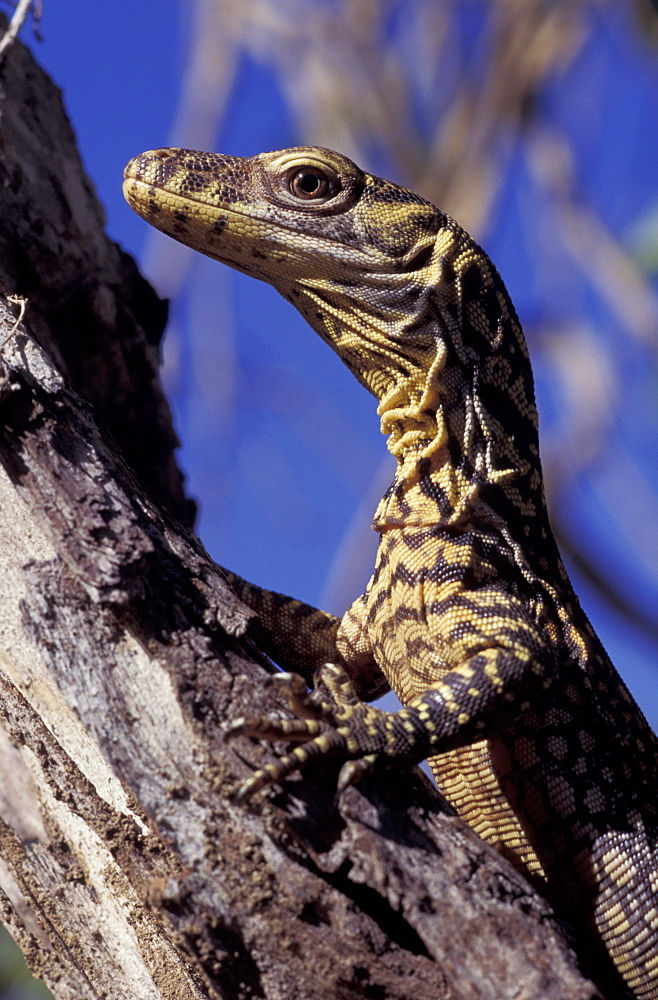 Komodo dragon, 2-day-old (Varanus komodoensis) in Tamarind tree, Komodo Is