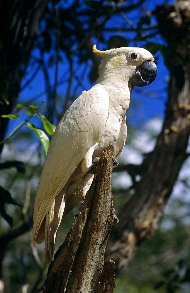 Sulphur crested Cockatoo.
