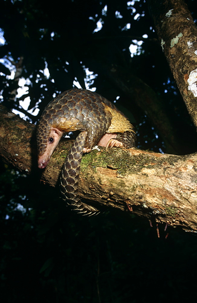Pangolin (Manis javanica) foraging in tree canopy.
