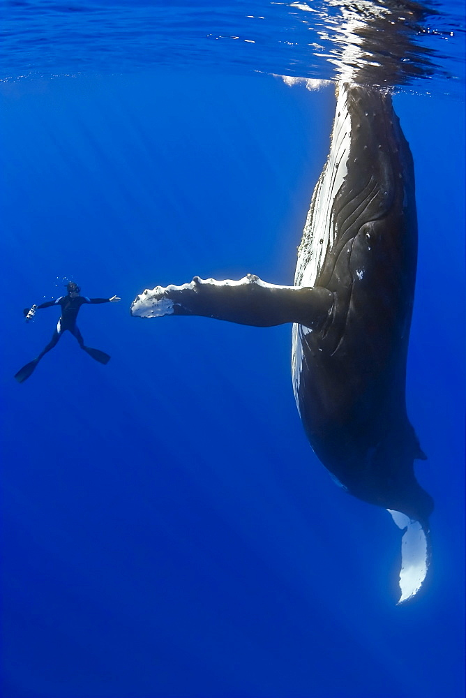 Southern humpback whale, Megaptera novaeangliae, and diver, shaking hands, on migratory route, South Pacific Ocean - 983-115