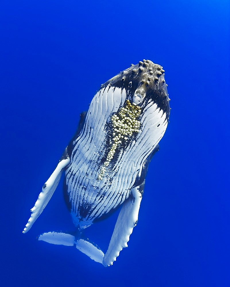 humpback whale, Megaptera novaeangliae, with parasitic acorn barnacles attached under chin, Cornula diaderma, on migratory route, Pacific Ocean