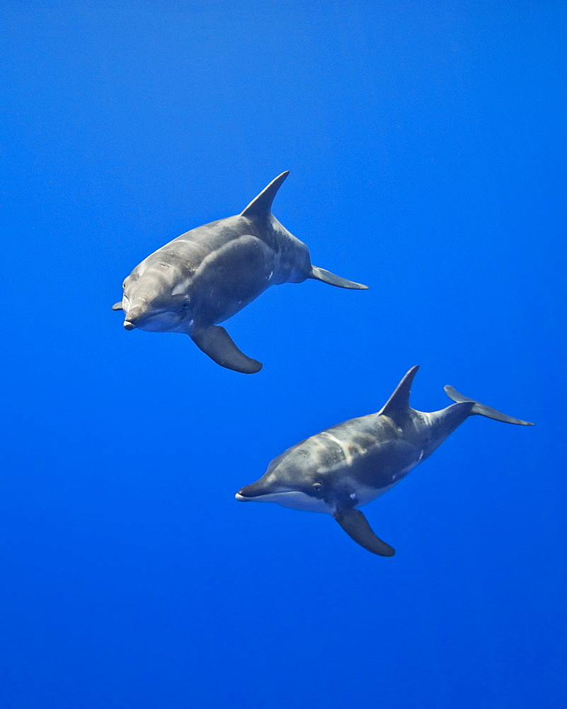 rough-toothed dolphins, Steno bredanensis, analyzing the photographer by using impulse-type (click-type) sonar for precise echolocation and imaging, Kona Coast, Big Island, Hawaii, Pacific Ocea