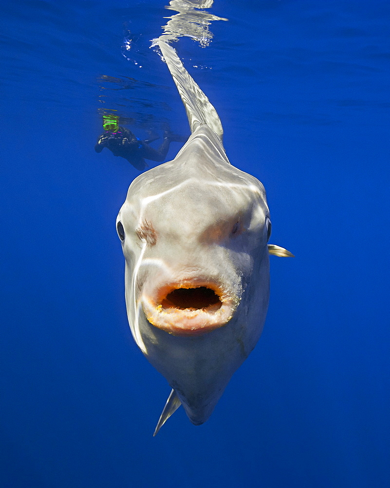 ocean sunfish, Mola mola, and snorkeler with underwater video camera, off San Diego, California, USA, East Paficic Ocean, Model Released MR-000088 - 983-38