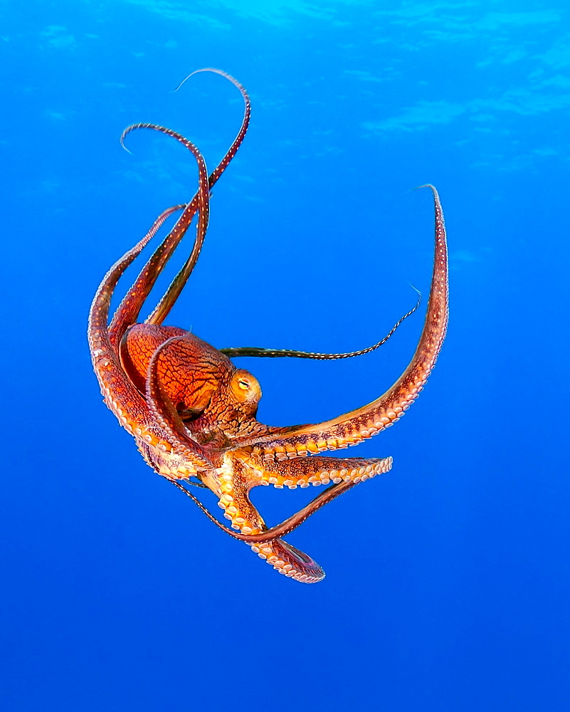 Day octopus (Octopus cyanea), Kohala Coast, Big Island, Hawaii, United States of America, Pacific