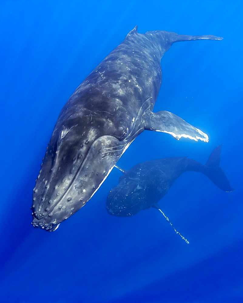 Humpback whales (Megaptera novaeangliae) courtship behaviour of male aggressively pursuing female while blowing bubbles, Hawaii, United States of America, Pacific