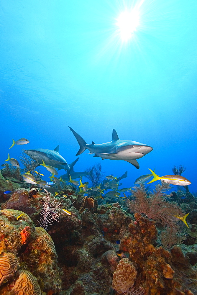 Caribbean reef sharks, Carcharhinus perezi, and yellowtail snappers, Ocyurus chrysurus, swimming over coral reef, Grand Bahamas, Bahamas, Caribbean Sea, Atlantic Ocean - 983-504