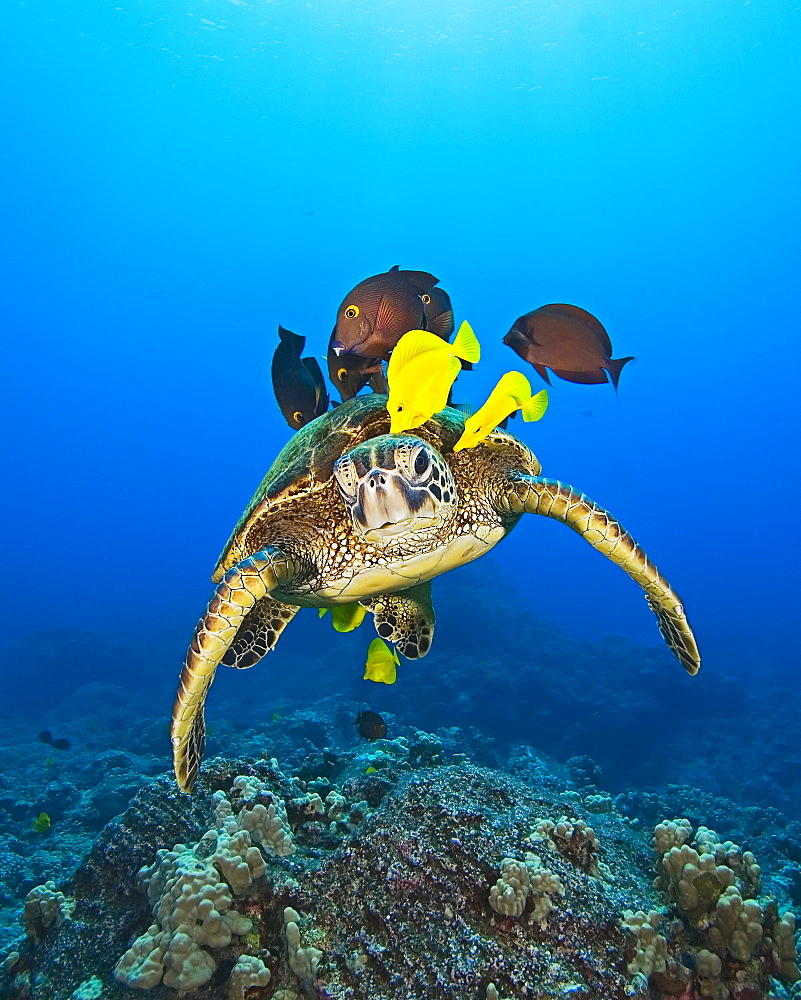 endangered species, green sea turtle, Chelonia mydas, being cleaned by yellow tang, Zebrasoma flavescens, and gold-ring surgeonfish, Ctenochaetus strigosus, Kona Coast, Big Island, Hawaii, USA, Pacific Ocean - 983-514