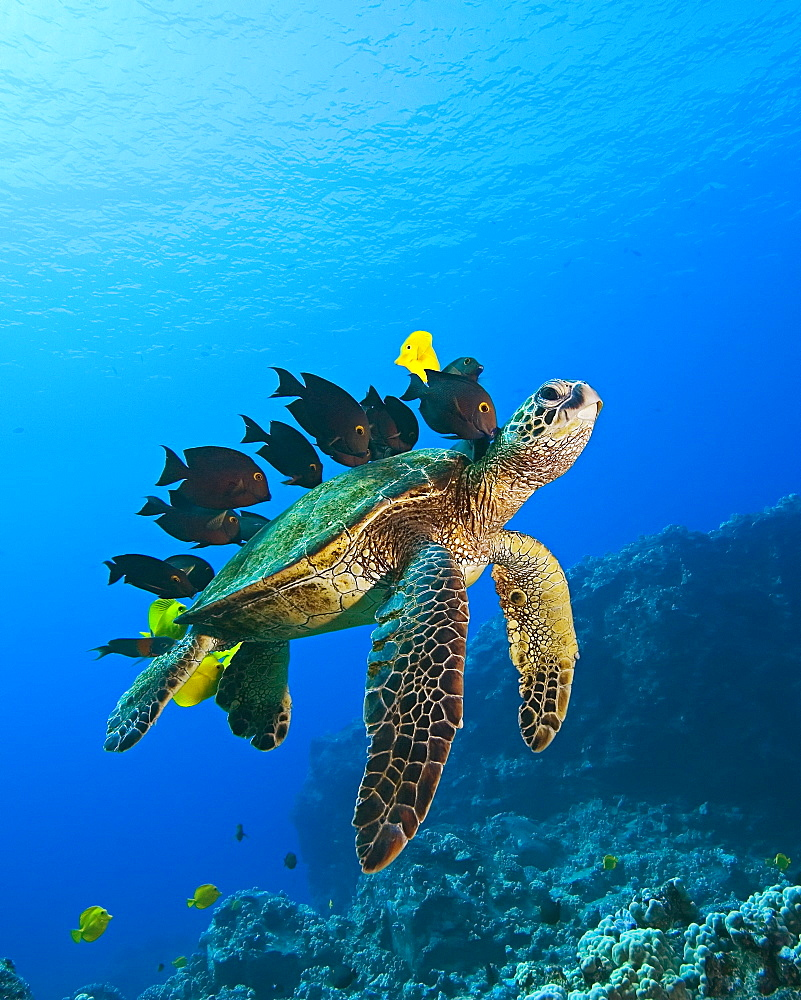 endangered species, green sea turtle, Chelonia mydas, being cleaned by yellow tang, Zebrasoma flavescens, gold-ring surgeonfish, Ctenochaetus strigosus, and endemic saddle wrasse, Thalassoma duperrey, Kona Coast, Big Island, Hawaii, USA, Pacific Ocean - 983-515