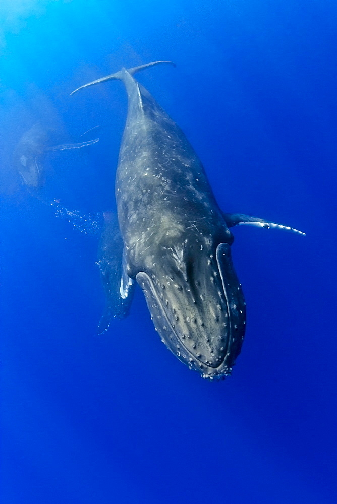 humpback whales, Megaptera novaeangliae, courtship behavior, heat run or mating contest - competing male whales battle each other blowing bubbles aggressively possibly to gain access to a female as wellas to fend off other males, Hawaii, Pacific Ocean