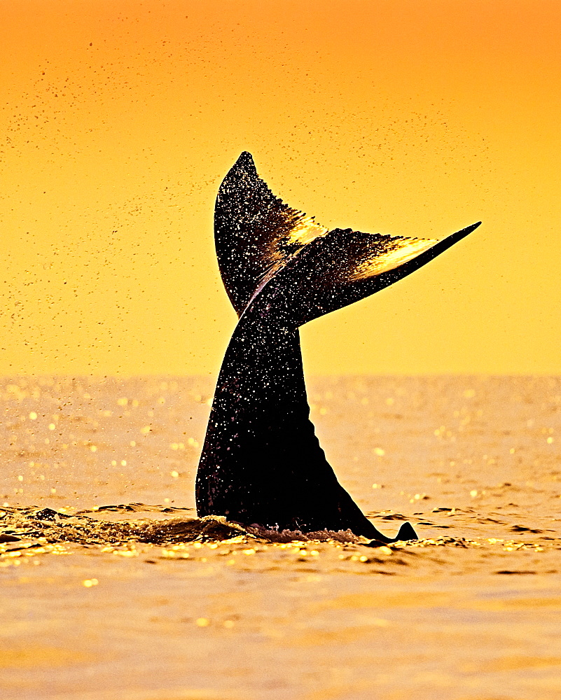 humpback whale, Megaptera novaeangliae, calf tail-slapping or lobtailing at sunset, fluke silhouette, Hawaii, USA, Pacific Ocean - 983-626