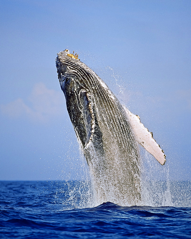humpback whale, Megaptera novaeangliae, breaching, Hawaii, USA, Pacific Ocean - 983-632