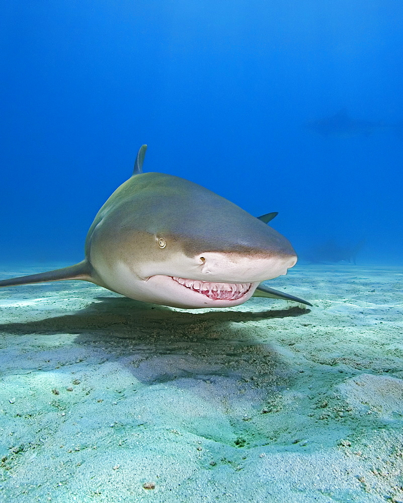 lemon shark, Negaprion brevirostris, Grand Bahama, Bahamas, Caribbean Sea, Atlantic Ocean - 983-644
