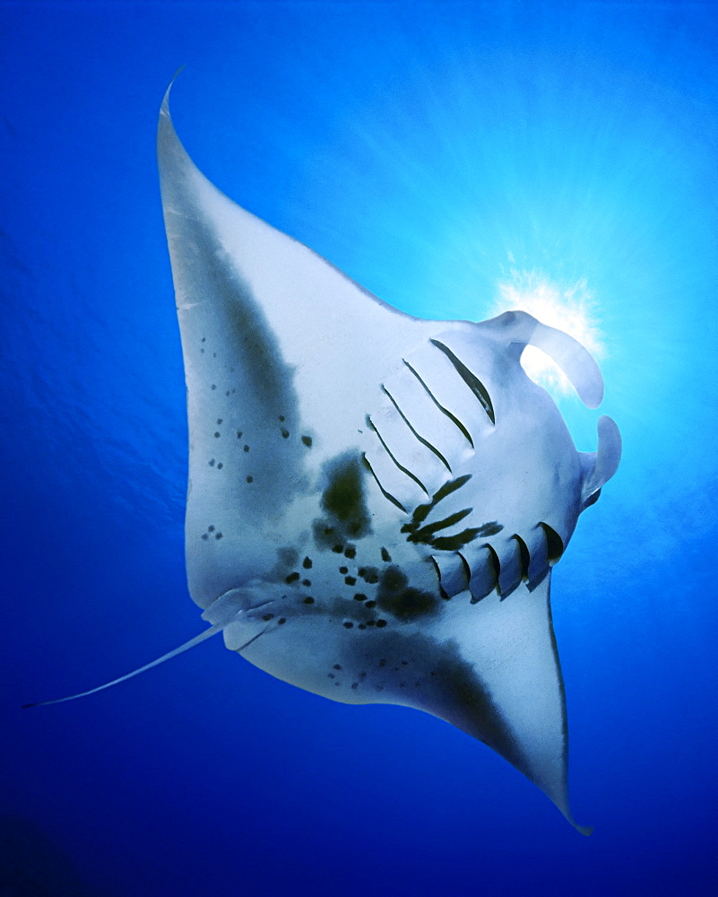 manta ray feeding on plankton, Manta birostris, Kona Coast, Big Island, Hawaii, USA, Pacific Ocean, digital composite - 983-650