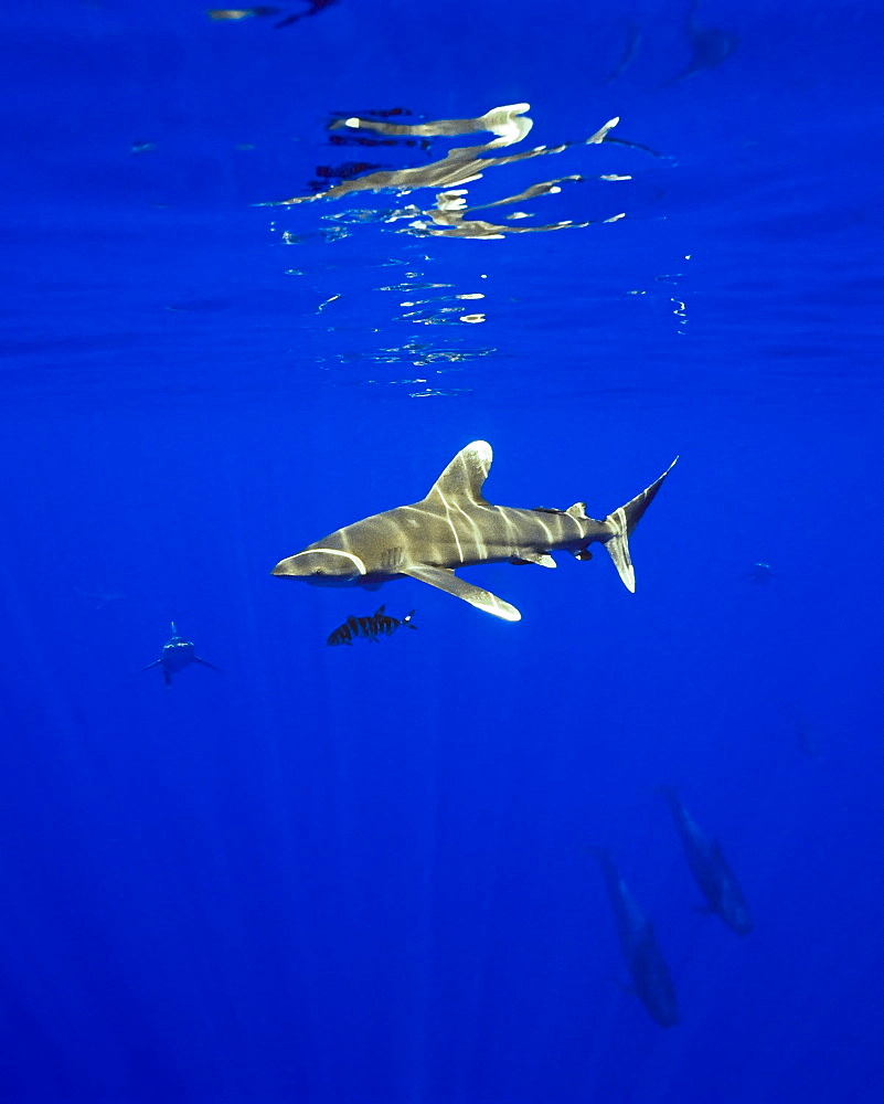 oceanic whitetip shark, Carcharhinus longimanus, with remora, Remora sp., IUCN Vulnerable Species, Kona Coast, Big Island, Hawaii, USA, Pacific Ocean - 983-660