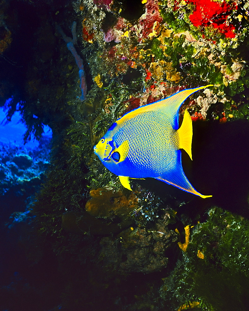 queen angelfish, Holacanthus ciliaris, Cozumel, Quintana Roo, Mexico, Caribbean Sea, Atlantic Ocean - 983-665