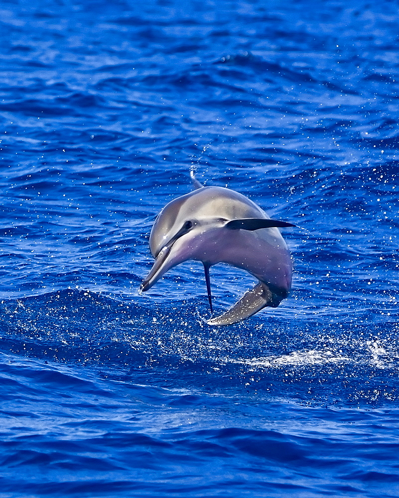 Hawaiian spinner dolphin, Stenella longirostris longirostris, calf jumping, Kona Coast, Big Island, Hawaii, USA, Pacific Ocean