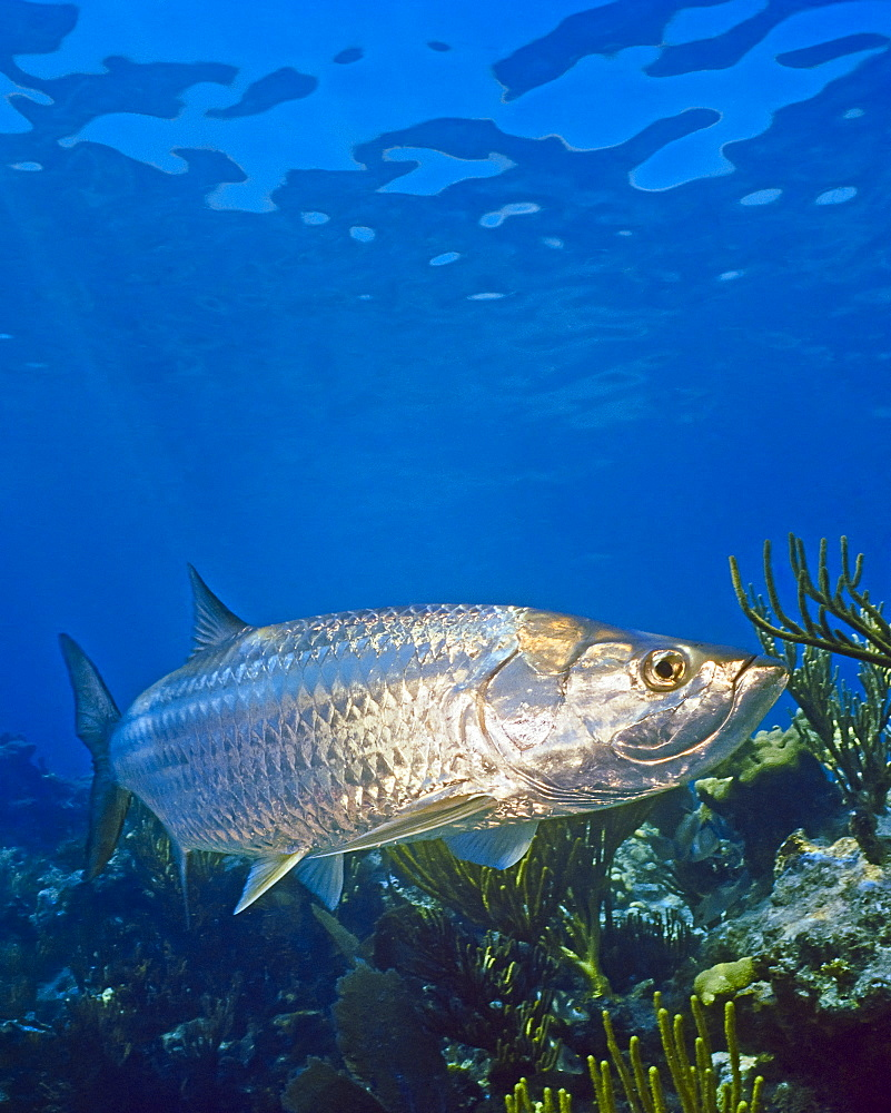 Atlantic tarpon, Megalops atlanticus, swimming over coral reef, grows up to 2 m (6.6 ft) in length and could weigh as much as 160 kg (350 lb), Looe key, Florida Keys National Marine Sanctuary, Florida, USA, Caribbean Sea, Atlantic Ocean - 983-679