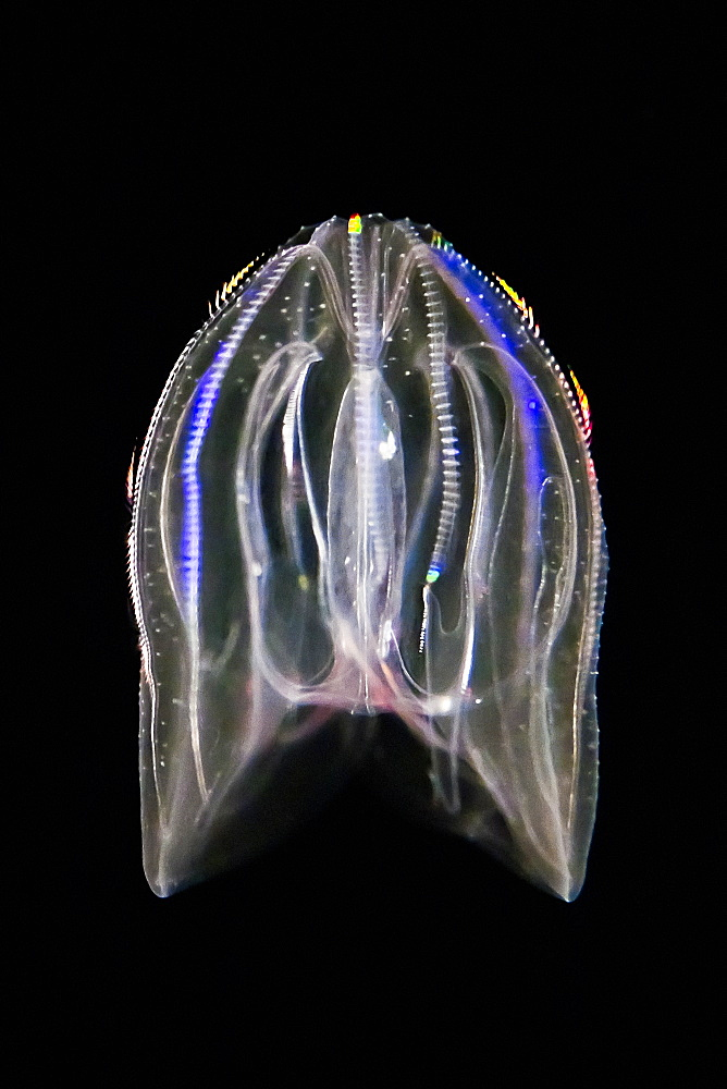 Sea walnut or warty comb jelly, Mnemiopsis leidyi = gardeni = mccradyi, emitting bioluminescent light, Atlantic Ocean