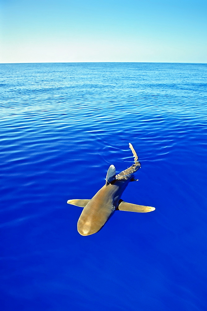 oceanic whitetip shark, Carcharhinus longimanus, cruising near the surface of the ocean, IUCN Vulnerable Species, Kona Coast, Big Island, Hawaii, USA, Pacific Ocean