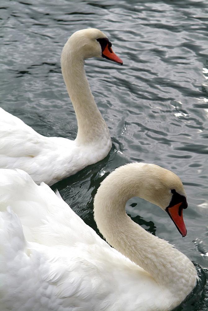 dartmouth -swans - 986-37