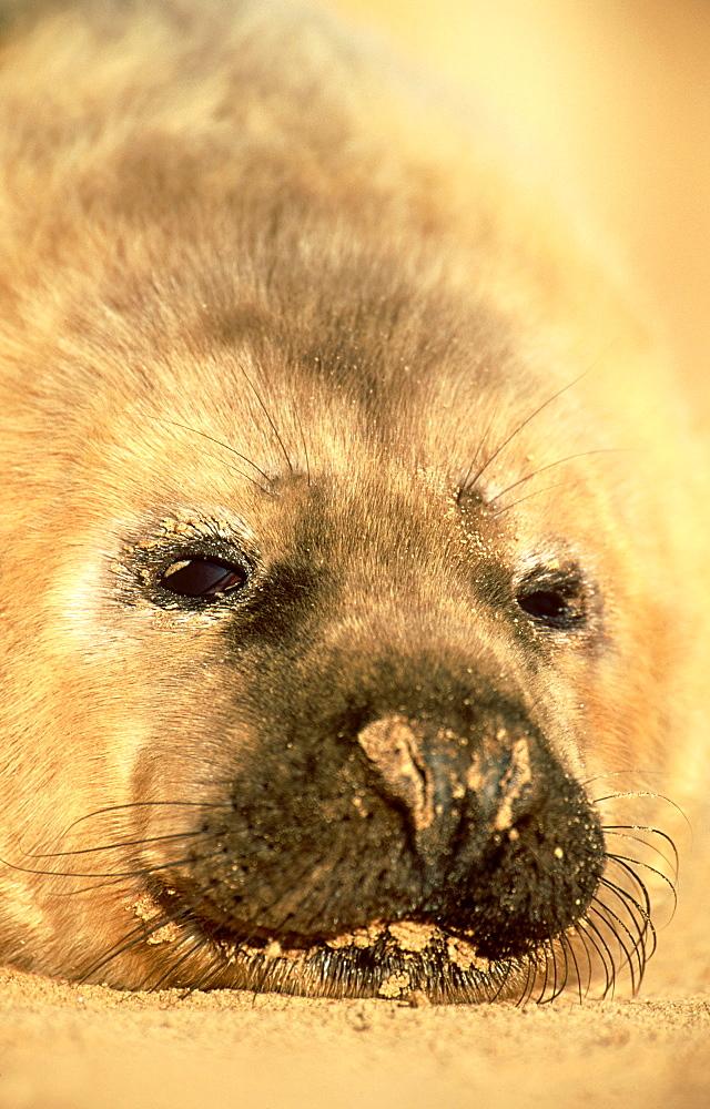 grey seal: halichoerus grypus pup, dec eastern england, uk