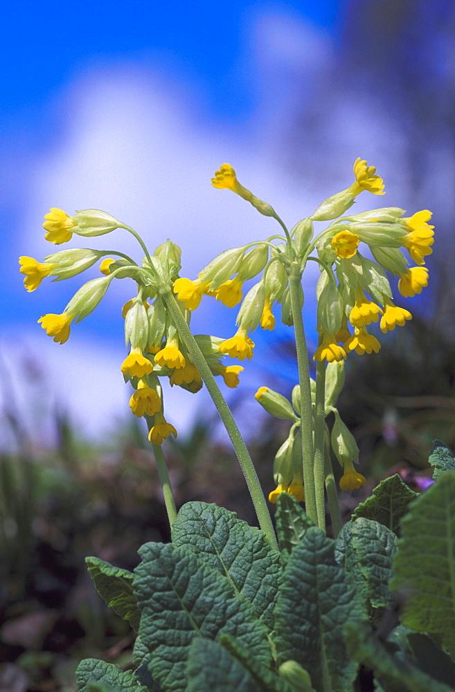 cowslip primula veris against sky, in cut woodland talsu rajons, latvia - 987-133