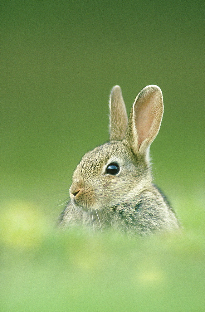 rabbit oryctolagus cunniculus juvenile outside burrow glen esk, angus, scotland