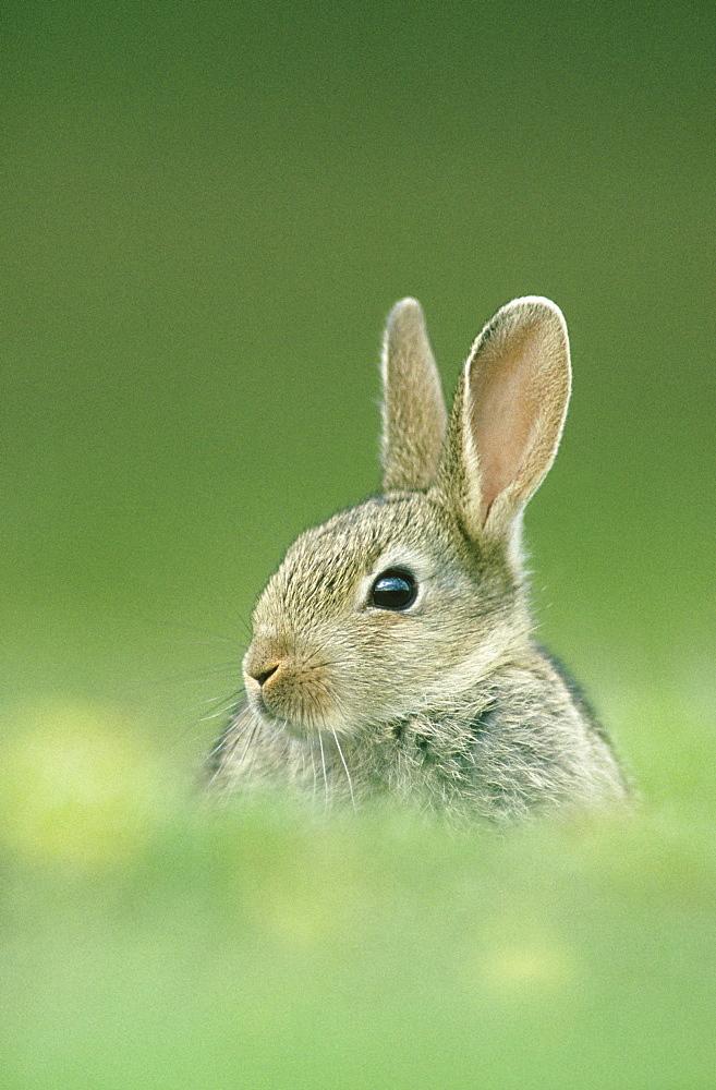 rabbit oryctolagus cunniculus juvenile outside burrow glen esk, angus, scotland