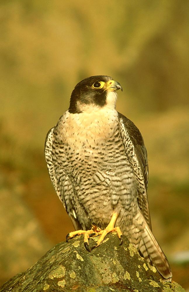 peregrine falcon (c): falco peregrinus (scottish race).male perched on rock on scottish borders