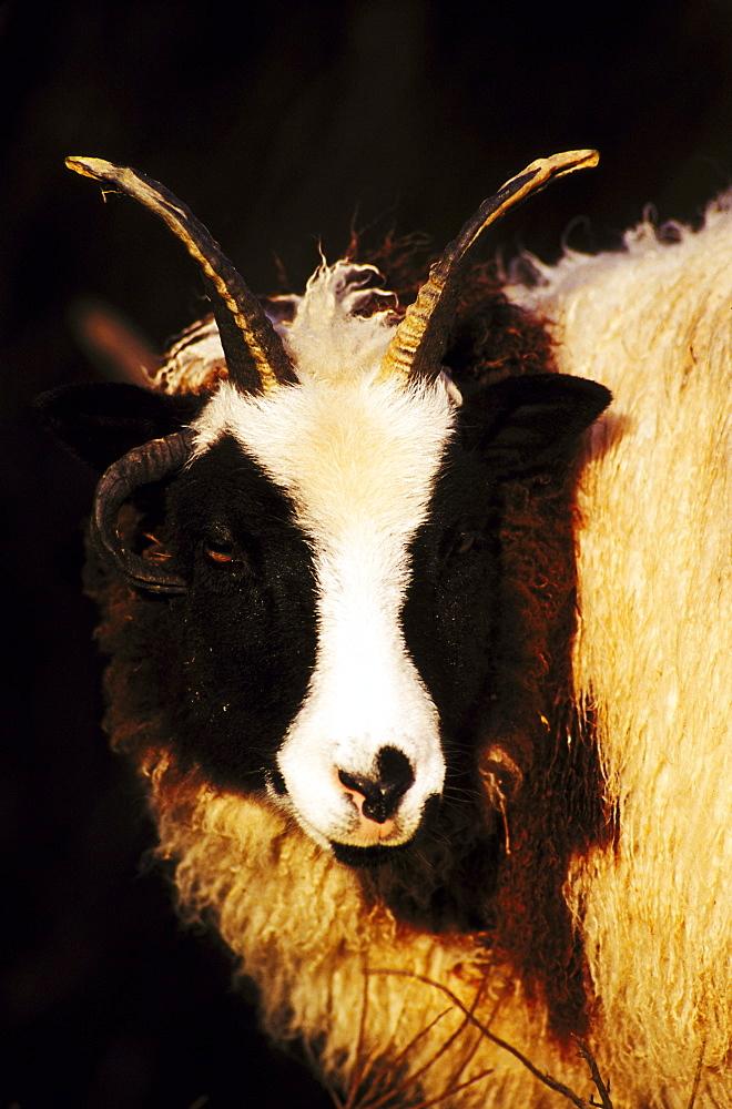 domesticated sheep, jacob, heughhead, angus, scotland - 987-180