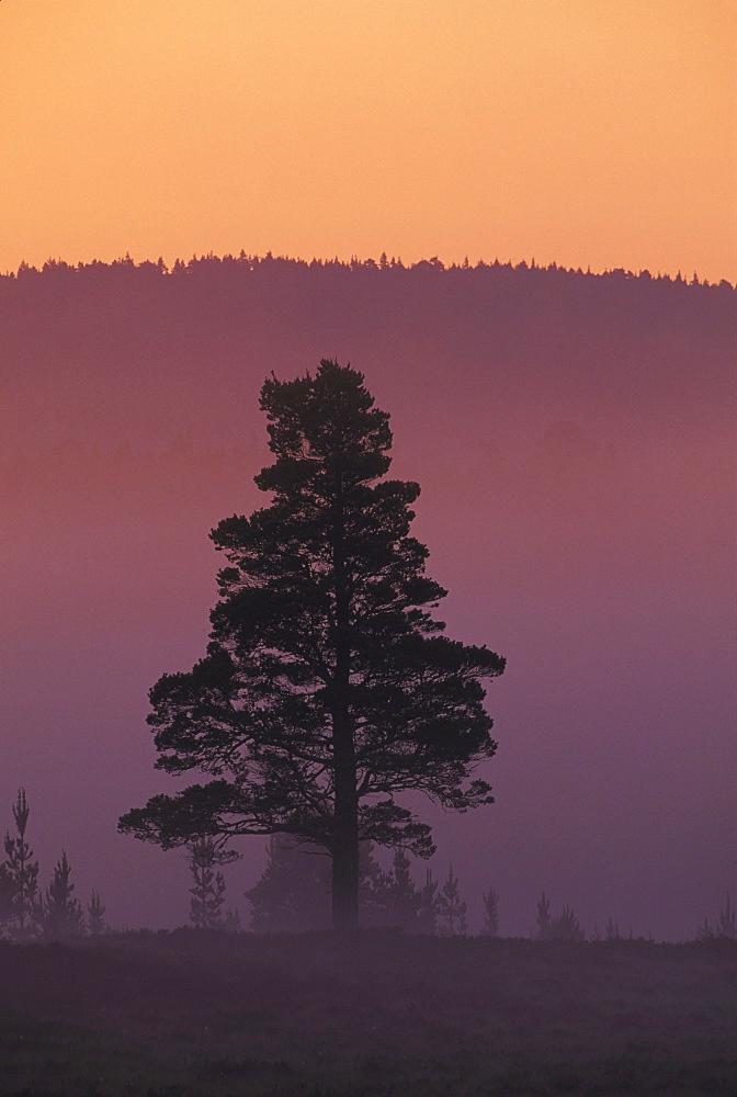 scots pine, pinus sylvestris, single tree, mid-summer, speyside, scotland