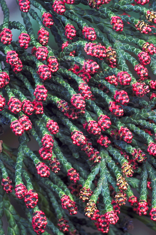 lawsons cypress chamaecyparis lawsoniana flowers angus, scotland