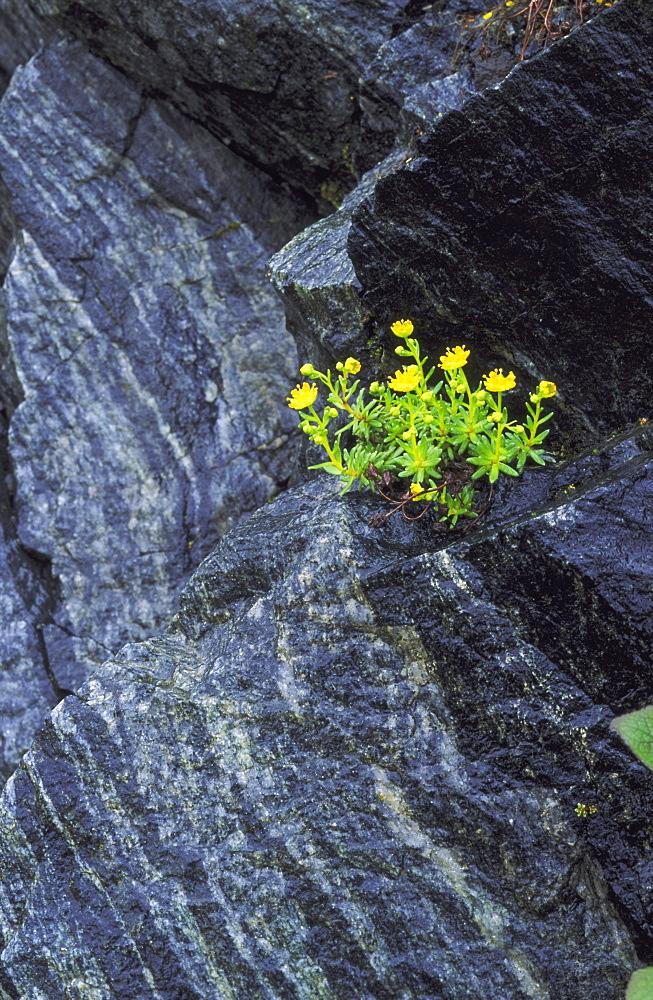 yellow mountain saxifrage - 987-192