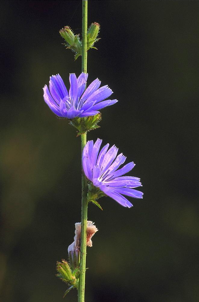 chicory, cichorium intybus, flowers, pasiene, latvia - 987-203