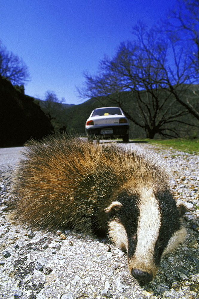 badger, meles meles, road-kill, crete